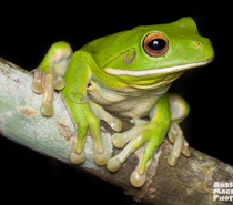 White-lipped tree Frog - Lots of frogs on the Let's Go Buggin Night Walk