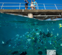 Fish Feeding from the Green Island Jetty