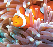 Clown Fish at Green Island