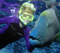 Diving with Maori Wrasse