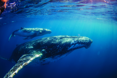 Swim with Humpback Whales Tour (July - Oct)