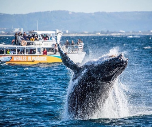 Half Day Whale Watching Cruise from Surfers Paradise