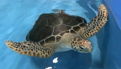 Dianne is first admission as Cairns Aquarium opens new turtle rehabilitation facility to support marine turtle