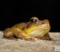 Northern Stony Creek Frog - Lots of frogs on the Let's Go Buggin Night Walk