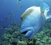 Meet Wally our resident Maori wrasse and friendliest fish in the sea