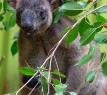 Get up close to a range of iconic Aussie animals in the Koala & Wildlife Park including Dingoes, Koalas, Tasmanian Devils, Kangaroo and the Endangered Cassowary.